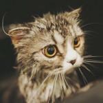 アメリカで猫さんの新種を発表、その名は『リコイ』の巻