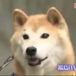 TOKIOさんの鉄腕ダッシュで柴犬の北登ちゃんが登場の巻