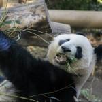 イッテQでパンダの驚愕の新事実の巻