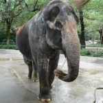 NHK72時間に吉祥寺の動物園(井の頭自然文化園)の日本最高齢のゾウはな子登場!